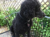 Project Poodle Grooming